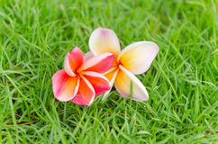Caduta rosa del fiore del frangipane sull'erba Fotografia Stock