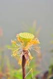 Caduta rosa del fiore di loto Fotografia Stock Libera da Diritti