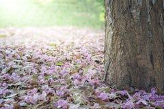 Caduta rosa dell'albero di tromba Immagine Stock