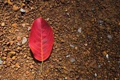 Caduta rossa della foglia sulla terra Fotografia Stock