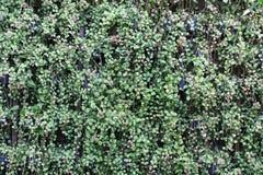 Caduta verde delle piante ornamentali sulla parete Fotografie Stock
