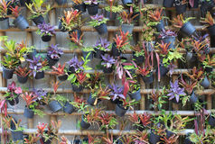 Caduta verde delle piante ornamentali sulla parete Fotografia Stock