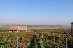 Caduta in Wineyards immagini stock libere da diritti