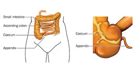 Caecum and appendix. Drawing of the small and large intestine with detail of caecum and appendix Stock Photo