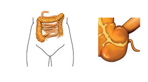 Caecum and appendix. Drawing of the small and large intestine with detail of caecum and appendix Stock Photography