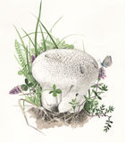 Caelata Calvatia гриба Стоковое фото RF