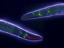 Caenorhabditis elegans Stock Photos