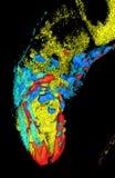 Caenorhabditis elegans Stock Image