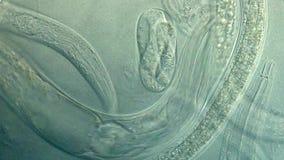 Caenorhabditis elegans stock footage
