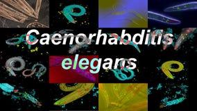 Caenorhabditis elegans. A free-living, transparent nematode roundworm stock footage