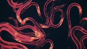 Caenorhabditis elegans. A free-living, transparent nematode (roundworm stock video