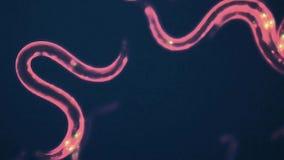 Caenorhabditis elegans. A free-living, transparent nematode (roundworm stock video footage
