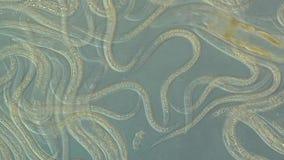 Caenorhabditis elegans. A free-living, transparent nematode (roundworm stock footage