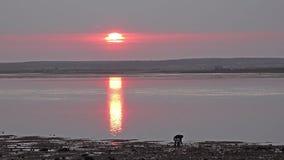 Caernarfon, Wales - April 21 2018: Mens die mosselen op het strand verzamelen tijdens zonsondergang stock afbeeldingen