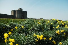 Caerphilly castle. With field and yellow flower, horizontally framed shot royalty free stock photography