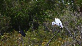 Caerulea da garça-real, do Egretta de azul pequeno, e grande Egret, Ardea alba filme