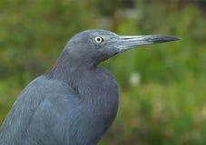 Caerulea de la garza o del Egretta del pequeño azul imágenes de archivo libres de regalías