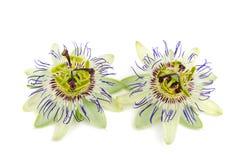Caerulea della passiflora della passiflora Fotografia Stock