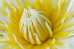 Caerulea do Nymphaea Imagem de Stock Royalty Free