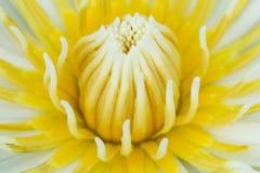 Caerulea do Nymphaea Imagens de Stock