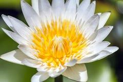 Caerulea Nymphaea Стоковое Фото