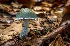 Caerulea Stropharia - μη φαγώσιμος μύκητας στοκ εικόνες