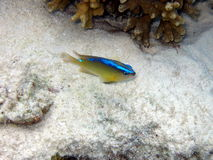 Caerulean Damsel. A little and timid Caerulean Damsel in Maldives indian ocean Stock Images