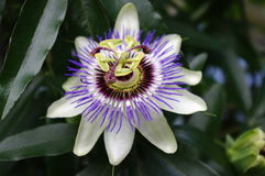 caeruleapassiflora Arkivbilder