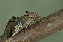 Caeruleocephala de Diloba imagenes de archivo
