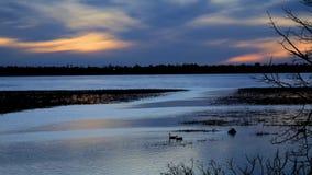Caerulescens de los gansos, del Anser de nieve, y gansos de Canadá, canadensis del Branta, nadada pacífico en el río Misisipi almacen de video