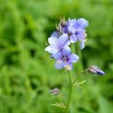 Caeruleum do Polemonium das flores Fotografia de Stock Royalty Free