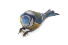 Caeruleus北美山雀 免版税库存照片