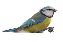 Caeruleus北美山雀 库存照片