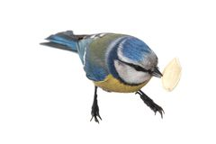 Caeruleus北美山雀 图库摄影