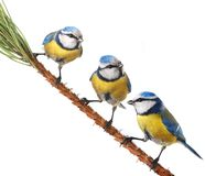 Caeruleus北美山雀 免版税库存图片