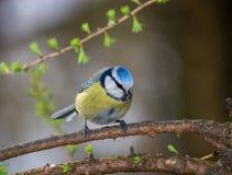 caeruleus błękitny tit zdjęcie royalty free