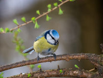 Caeruleus, blauer Tit Lizenzfreies Stockfoto
