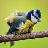 Caeruleus Cyanistes голубой синицы сидя на ручке на зеленой предпосылке стоковые изображения