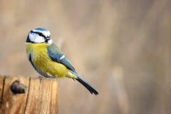 Caeruleus Cyanistes голубой синицы сидя на фидере зимы стоковые изображения rf