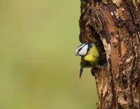 蓝色caeruleus cyanistes山雀 库存图片