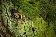 Caeruleus Cyanistes wildlife E όμορφη εικόνα ελεύθερη φύση Από τη ζωή πουλιών Άνοιξη Μπλε πουλί στοκ φωτογραφίες με δικαίωμα ελεύθερης χρήσης