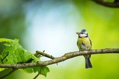 Caeruleus Cyanistes wildlife E όμορφη εικόνα ελεύθερη φύση Από τη ζωή πουλιών Άνοιξη Μπλε πουλί στοκ εικόνα