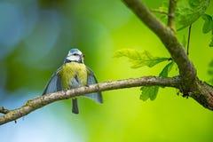 Caeruleus Cyanistes wildlife E όμορφη εικόνα ελεύθερη φύση Από τη ζωή πουλιών Άνοιξη Μπλε πουλί στοκ εικόνες