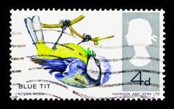 Caeruleus del Parus della cinciarella, serie britannico degli uccelli, circa 1966 Fotografia Stock