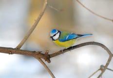 Caeruleus di Cyanistes del tit blu (Paridae) Fotografia Stock
