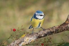 Caeruleus di Cyanistes dell'uccello in fauna selvatica Fotografia Stock Libera da Diritti