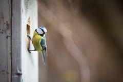 Caeruleus Parus голубой синицы на доме птицы он обитает в Стоковые Фото