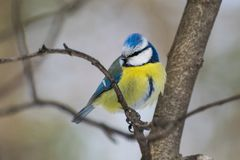 Caeruleus Parus голубой синицы, caeruleus Cyanistes Стоковое Изображение RF