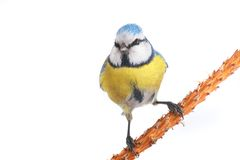 Caeruleus titmouse Royalty Free Stock Photos