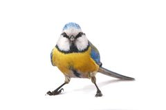Caeruleus titmouse royalty free stock photo